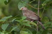 Argya_affinis002.Udawalawe.Sri_Lanka.28.11.2018