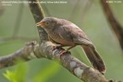 198.012.Argya affinis001.Kitulgala.Sri Lanka.7.12.2018