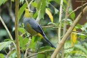 Ptiliogonys_caudatus002.San_Gerardo_de_Dota.Costa_Rica.9.12.2015