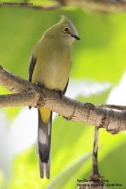 Ptiliogonys_caudatus005.San_Gerardo_de_Dota.Costa_Rica.7.12.2015