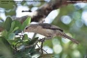 206.036.Campylorhynchus_turdinus001.Pantanal.Brazylia.14.11.2013