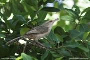 Campylorhynchus_turdinus002.Pantanal.Brazylia.14.11.2013