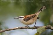 206.038.Campylorhynchus_rufinucha_capistratus001.Tarcoles.Costa_Rica.28.11.2015
