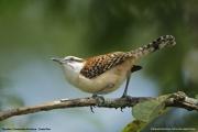Campylorhynchus_rufinucha_capistratus002.Tarcoles.Costa_Rica.28.11.2015