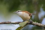 Campylorhynchus_rufinucha_capistratus003.Tarcoles.Costa_Rica.28.11.2015