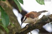 Campylorhynchus_rufinucha_capistratus004.Tarcoles.Costa_Rica.28.11.2015