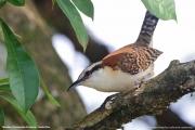 Campylorhynchus_rufinucha_capistratus005.Tarcoles.Costa_Rica.28.11.2015