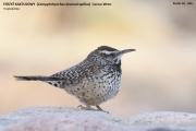 206.041.Campylorhynchus_brunneicapillus001.Portal.Arizona.USA.MJ.24.03.2013
