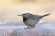 Campylorhynchus_brunneicapillus002.Portal.Arizona.USA.MJ.24.03.2013