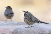 Campylorhynchus_brunneicapillus004.Portal.Arizona.USA.MJ.24.03.2013