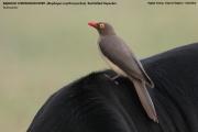 208.01.Buphagus_erythrorhynchus001.Mahango.Ngepi.Namibia.24.02.2014