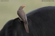 Buphagus_erythrorhynchus002.Mahango.Ngepi.Namibia.24.02.2014