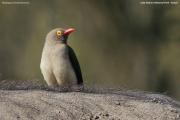Buphagus_erythrorhynchus003.Lake_Nakuru_N.P.Kenia.6.12.2014