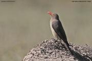 Buphagus_erythrorhynchus004.Lake_Nakuru_N.P.Kenia.6.12.2014