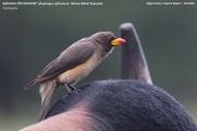 208.02.Buphagus_africanus001.Mahango.Ngepi.Namibia.25.02.2014