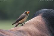 Buphagus_africanus003.Mahango.Ngepi.Namibia.25.02.2014