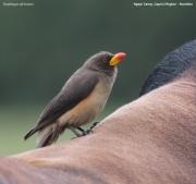 Buphagus_africanus004.Mahango.Ngepi.Namibia.25.02.2014