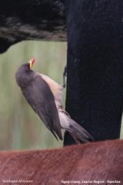 Buphagus_africanus002.Mahango.Ngepi.Namibia.25.02.2014