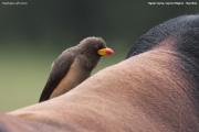 Buphagus_africanus007.Mahango.Ngepi.Namibia.25.02.2014