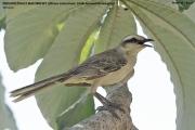 209.012.Mimus_saturninus001.Pantanal.Brazylia.14.11.2013
