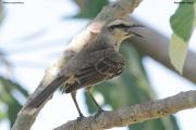 Mimus_saturninus002.Pantanal.Brazylia.14.11.2013