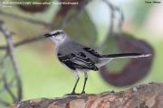 209.017.Mimus_gilvus001.Tropical_Mockingbird.Tulum.6.12.2007