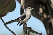 Mimus_gilvus002.Tropical_Mockingbird.Tulum.5.12.2007