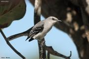 Mimus_gilvus003.Tropical_Mockingbird.Tulum.5.12.2007