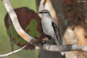 Mimus_gilvus004.Tropical_Mockingbird.Tulum.5.12.2007