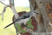Mimus_gilvus005.Tropical_Mockingbird.Tulum.6.12.2007