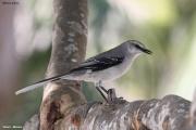 Mimus_gilvus006.Tropical_Mockingbird.Tulum.6.12.2007
