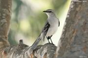 Mimus_gilvus007.Tropical_Mockingbird.Tulum.6.12.2007