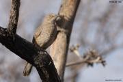 Toxostoma_curvirostre002.Portal.Arizona.USA.MJ.27.03.2013