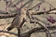 Toxostoma_curvirostre003.Portal.Arizona.USA.MJ.27.03.2013