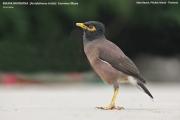 210.019.Acridotheres_tristis001.Kata.Phuket.MJ.Thailand.23.11.2012