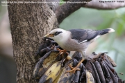 210.021.Acridotheres_burmannicus__leucocephalus001.Baan_Song_Nok.Kaeng_Krachan_N.P.Thailand.MJ.13.11.2012