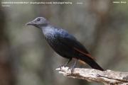 210.031.Onychognathus_morio002.Female.Mpala_R.C.Kenia.PJ.3.12.2014
