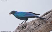 Lamprotornis_australis004.Waterberg.Namibia.19.02.2014
