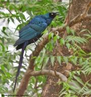 Lamprotornis_caudatus002.Benoue_N.P.Kamerun.12.02.2012