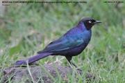 210.052.Lamprotornis_purpuroptera001.Lake_Nakuru_N.P.PJ.Kenia.6.12.2014