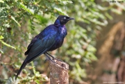 Lamprotornis_purpuroptera004.Entebbe.Uganda.10.02.2011