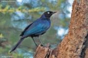 Lamprotornis_purpuroptera002.Lake_Bogoria.PJ.Kenia.7.12.2014