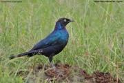 Lamprotornis_purpuroptera005.Kidepo_Valley_N.P.Uganda.14.11.2012