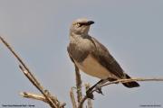 Lamprotornis_fischeri007.Tsavo_East_N.P.Kenia.PJ.21.09.2011