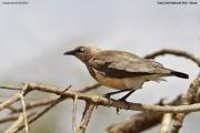 Lamprotornis_fischeri008.Tsavo_East_N.P.Kenia.PJ.21.09.2011