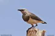 Lamprotornis_fischeri009.Tsavo_East_N.P.Kenia.PJ.21.09.2011