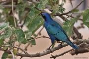 Lamprotornis_chalybaeus002.Okolice_Yabelo.Etiopia.19.11.2009