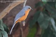 212.061.Empidornis_semipartitus001.Kidepo_Valley_N.P.Uganda.15.11.2012