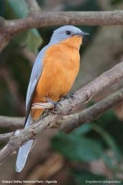 Empidornis_semipartitus002.Kidepo_Valley_N.P.Uganda.15.11.2012