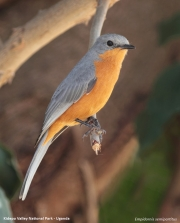 Empidornis_semipartitus003.Kidepo_Valley_N.P.Uganda.15.11.2012